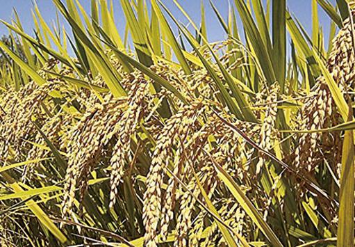 赴美參觀涉偷水稻技術 兩中國研究員被訴