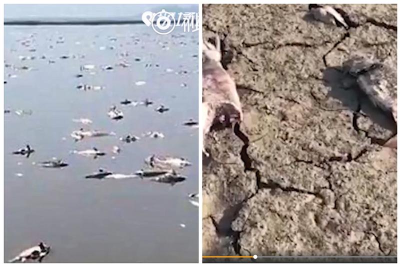 圖為遼寧法庫縣獾子洞水庫的死魚。(視頻截圖)