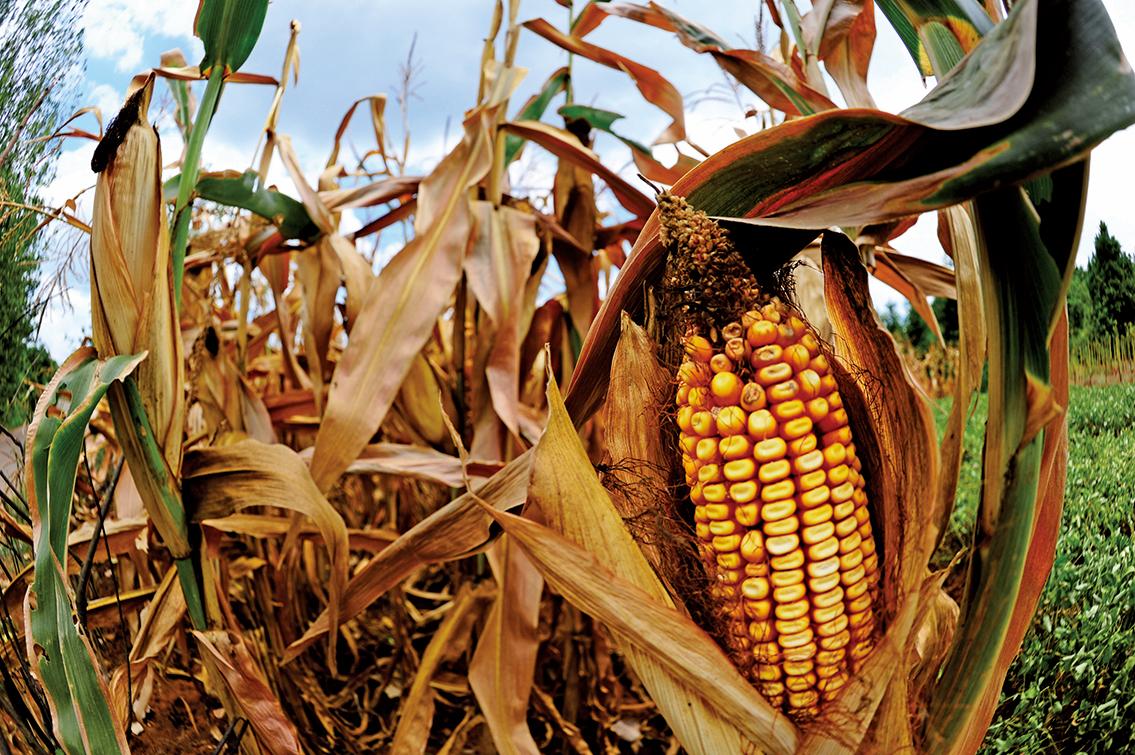 中美貿易戰剛開始,中國的大豆、粟米貿易商紛紛破產。(Getty Images)