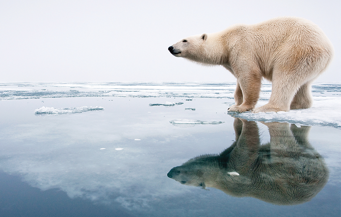 極地高溫,冰川消融,北極熊難逃活活餓死的結局。(AFP)