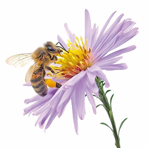 蜜蜂對咖啡生產來說並非必需, 但其活動卻可使咖啡產量提升50%。