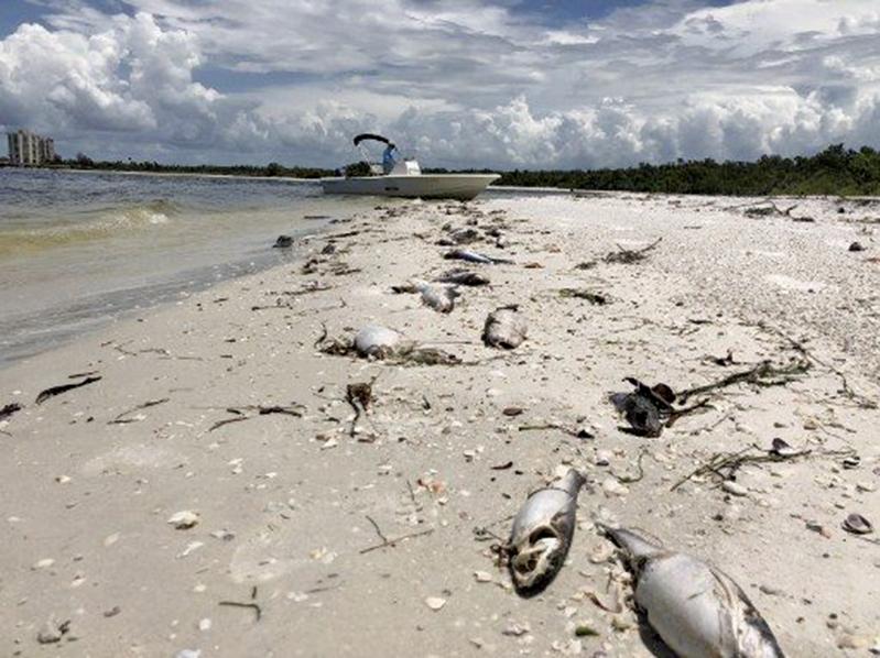 2018年8月14日,在佛州海灘上,有數百條被紅潮毒殺沖上岸的死魚。(AFP )