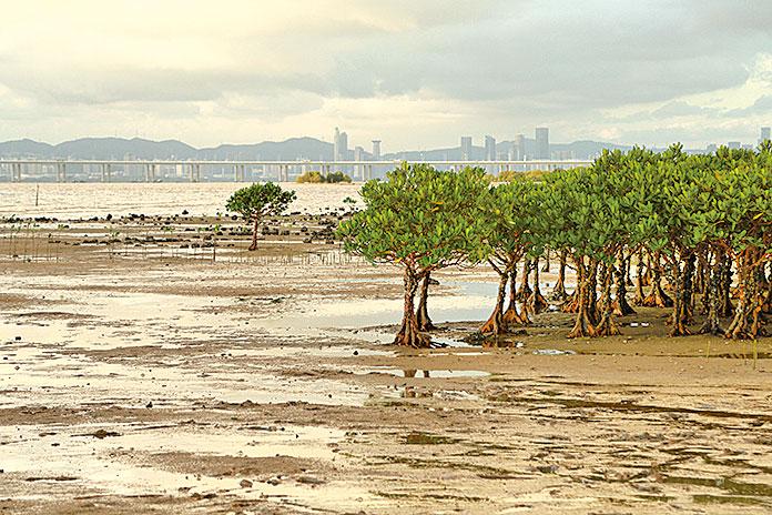 泥灘上的紅樹林。