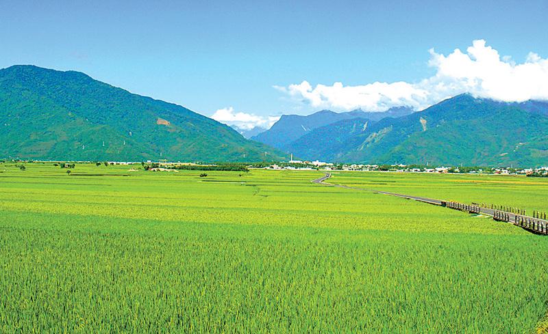 聽1年古典樂  台灣池上米豐收破紀錄
