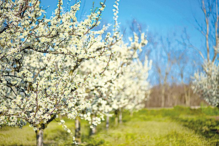 樹木可以釀酒?日本研發新技術