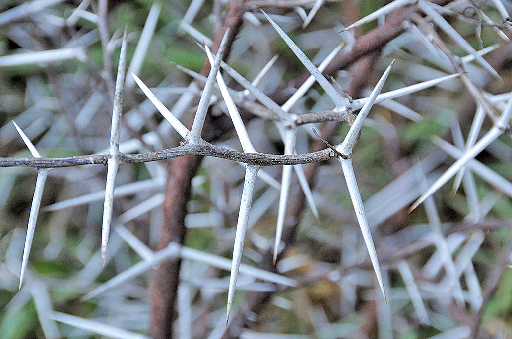 相思樹上的荊棘(Pixabay)