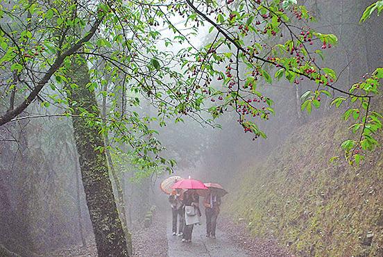 走過山櫻樹下,一串串水滴篩落肩頭,心 裏卻有一絲涼意