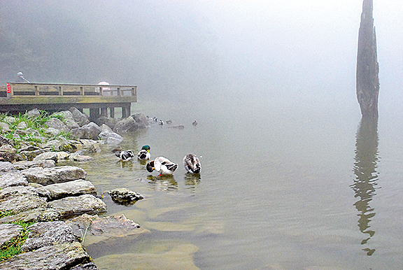 幾隻鴛鴦破霧游來在岸邊嬉戲