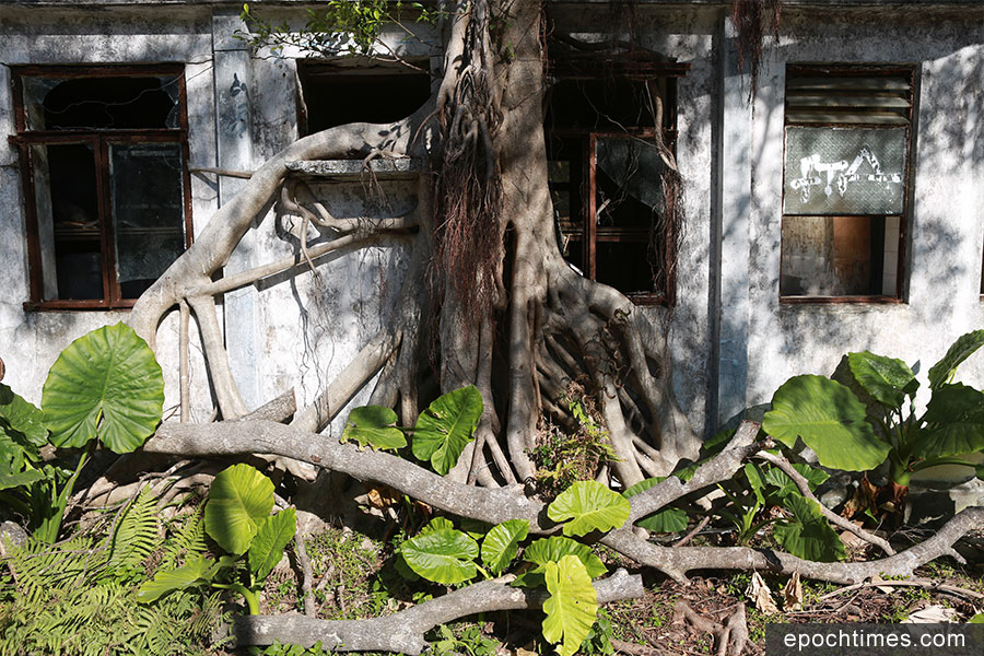 昔日昂坪茶園的渡假屋,現已成為樹木生長的家。(陳仲明/大紀元)