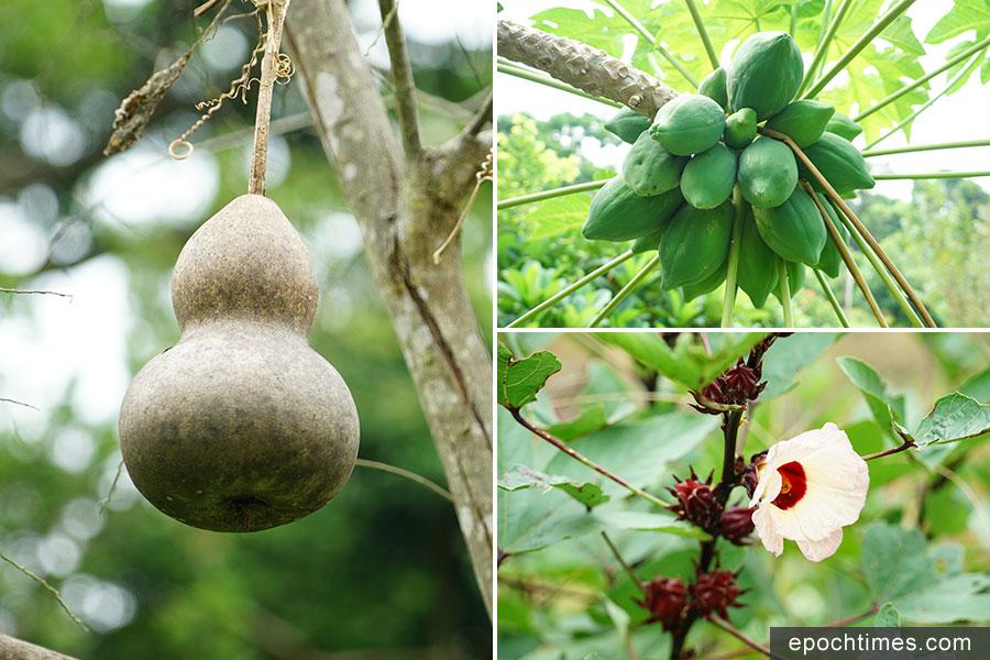 二澳農作社種植的葫蘆(左)、木瓜(右上)和洛神花(右下)。(曾蓮/大紀元)