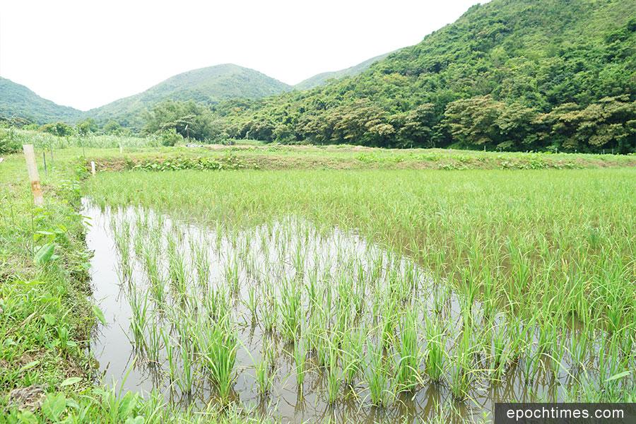二澳農作社耕種的水稻田。(曾蓮/大紀元)