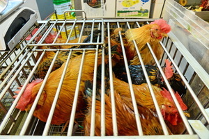 禽流感再現港停售活雞