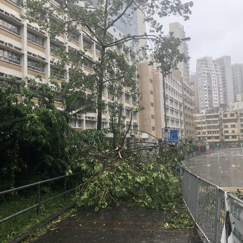 何文田培正中學前有大樹倒塌,市民須繞道而行。(梁珍)