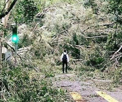市民上班路上遇上被大量倒塌樹木阻擋,圖片在網上瘋傳。(網絡圖片)
