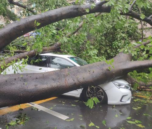 9月16日,颱風「山竹」登陸廣東,深圳遭重創。圖為深圳南山區學府路上的大樹被強颱風吹倒。(大紀元資料室)