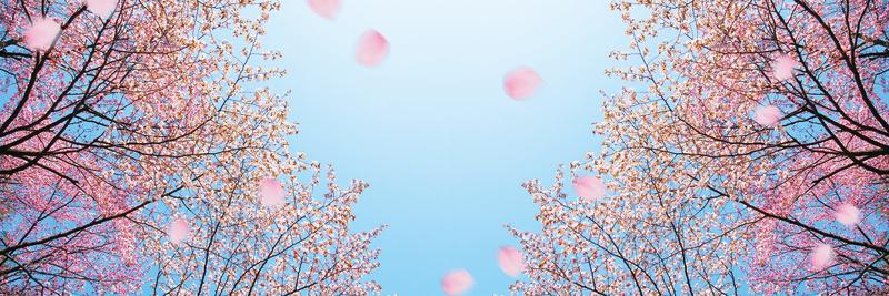 【智慧人生】穿過紛揚的櫻花雨