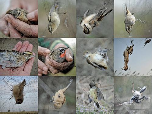 天津12萬隻候鳥遭獵 疑警察是黑商保護傘