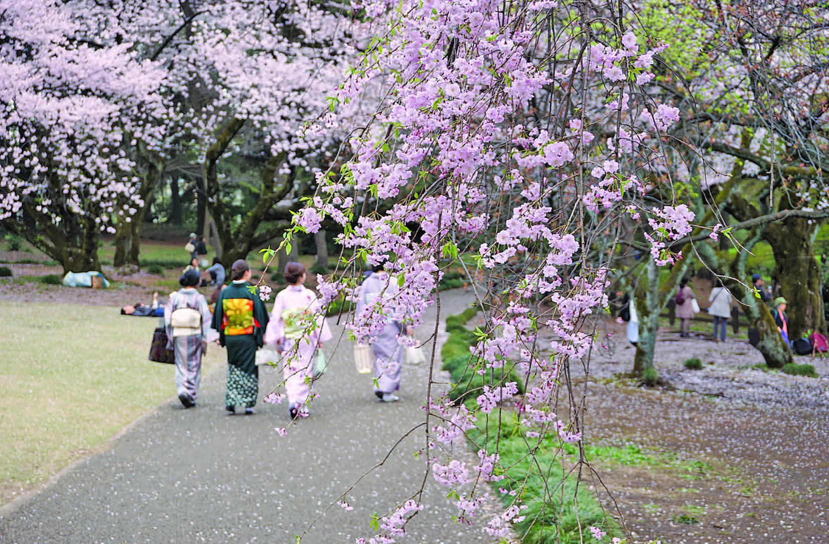 每年的櫻花時節,一期一會,櫻花樹下,人流如潮。微風拂過,花謝花飛,飄落時留下一份悠然、無悔的意境。攝於東京的新宿御園(盧勇/大紀元)