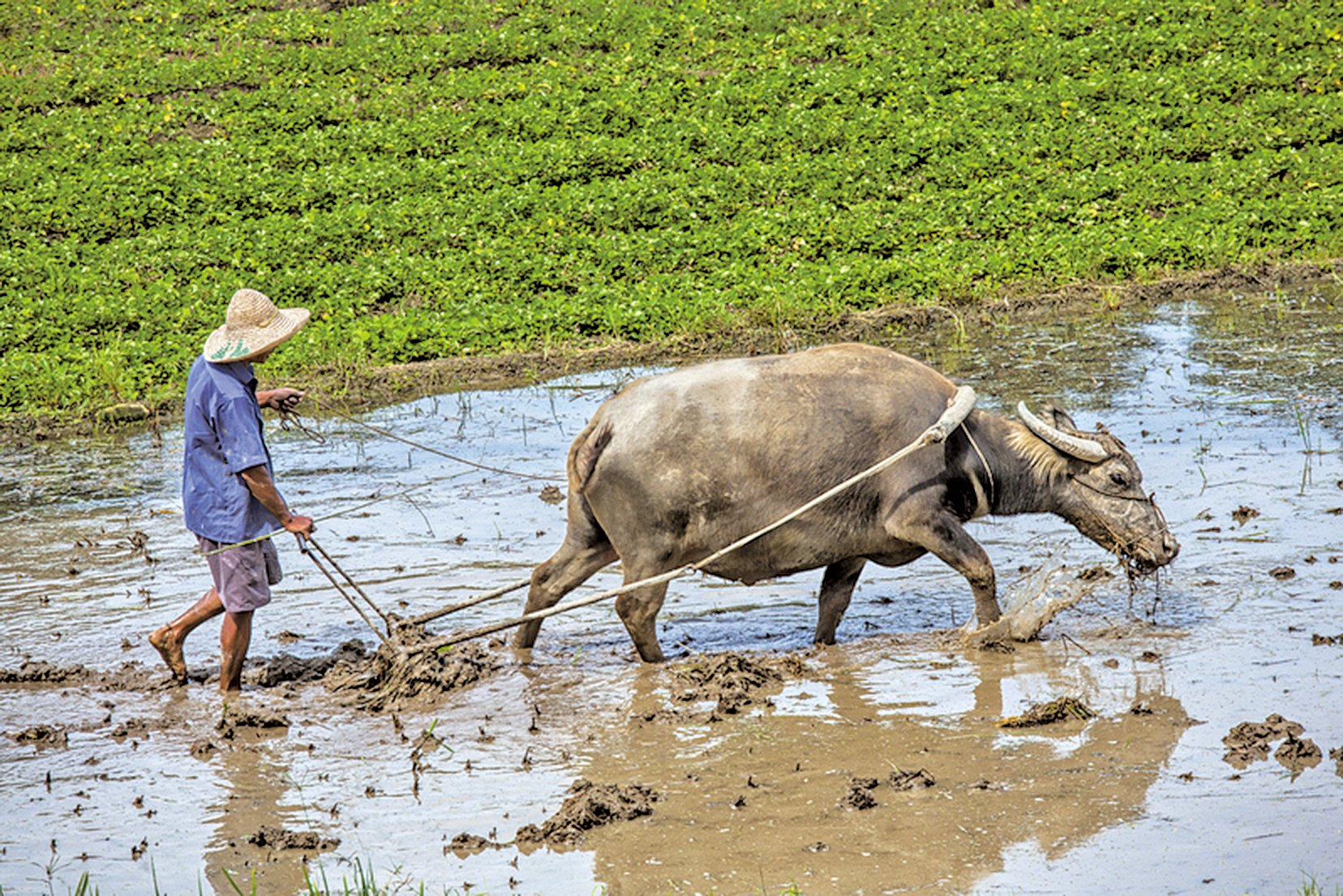 這世界走得太快,牛耕田的速度已遠遠追趕不上鐵牛(fotolia)