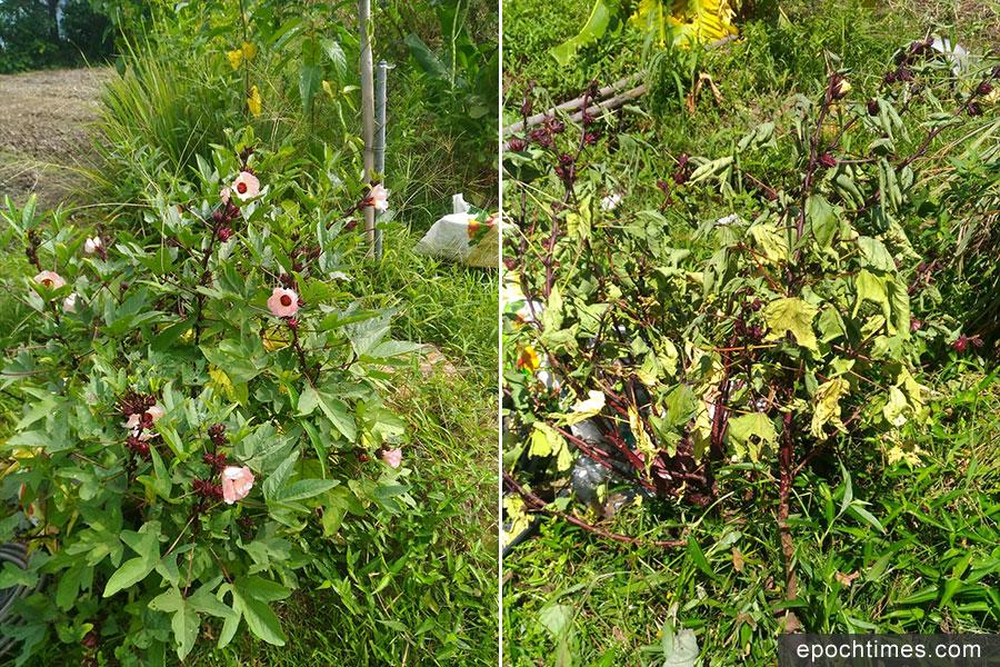 颱風吹襲前(左)、後(右)的洛神花。(受訪者提供)