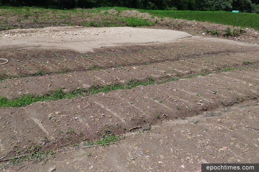 河沙覆蓋了一半蘿蔔田,已出苗的蘿蔔與各式菜蔬損失過半。(受訪者提供)