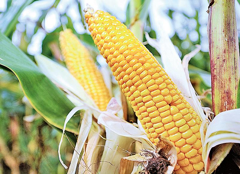 玉米在極端氣候下可能累積硝酸鹽或氰化氫。(AFP/GettyImages)
