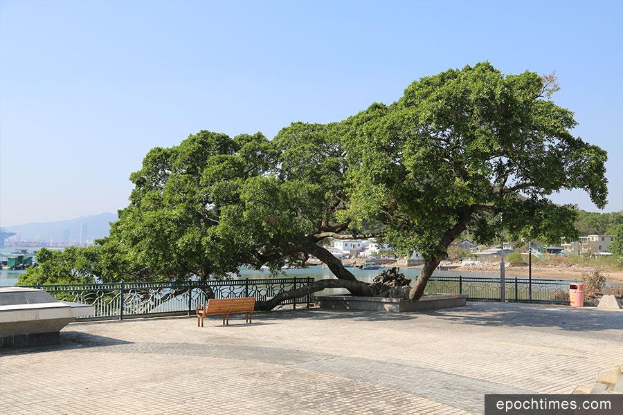 吉澳天后宮前的姻緣樹。(陳仲明/大紀元)
