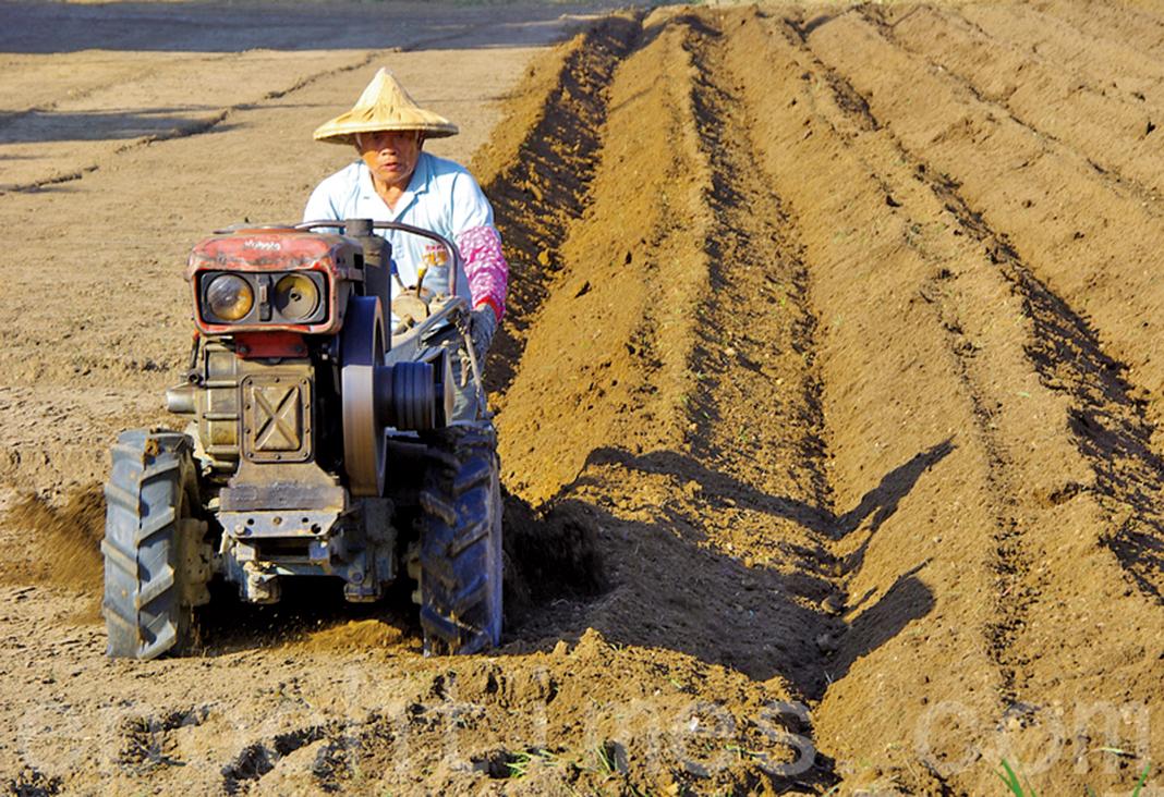 夏糧減產引發中國糧食危機的憂慮。(網絡圖片)