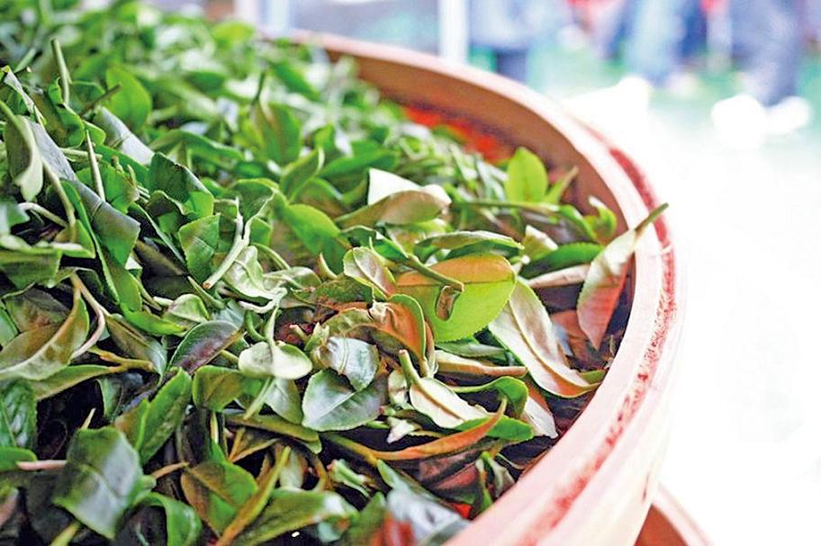 老水秋茶,白露茶。(中央社)