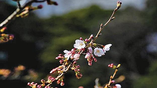 日本出現罕見「秋櫻」 疑天氣異常惹禍