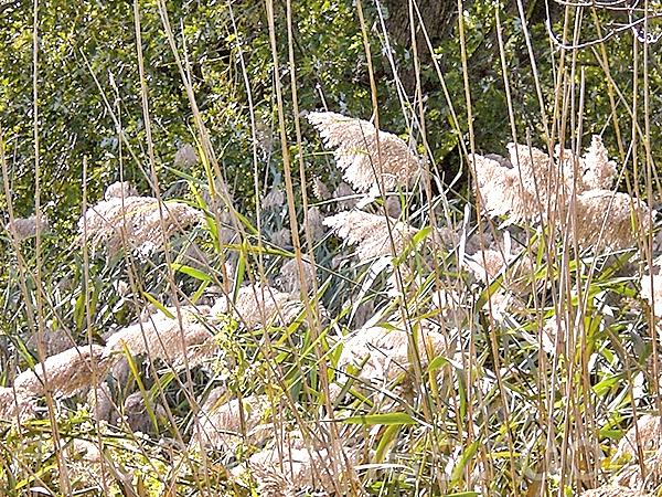 「葭」就是蘆葦,蘆花做大襖的裡子並不保暖(司瑞/大紀元)