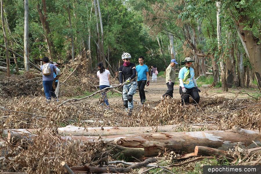 義工團體連續數個周末,義務清理南生圍赤桉樹林步道上的枯木和沿途的垃圾雜物。(陳仲明/大紀元)