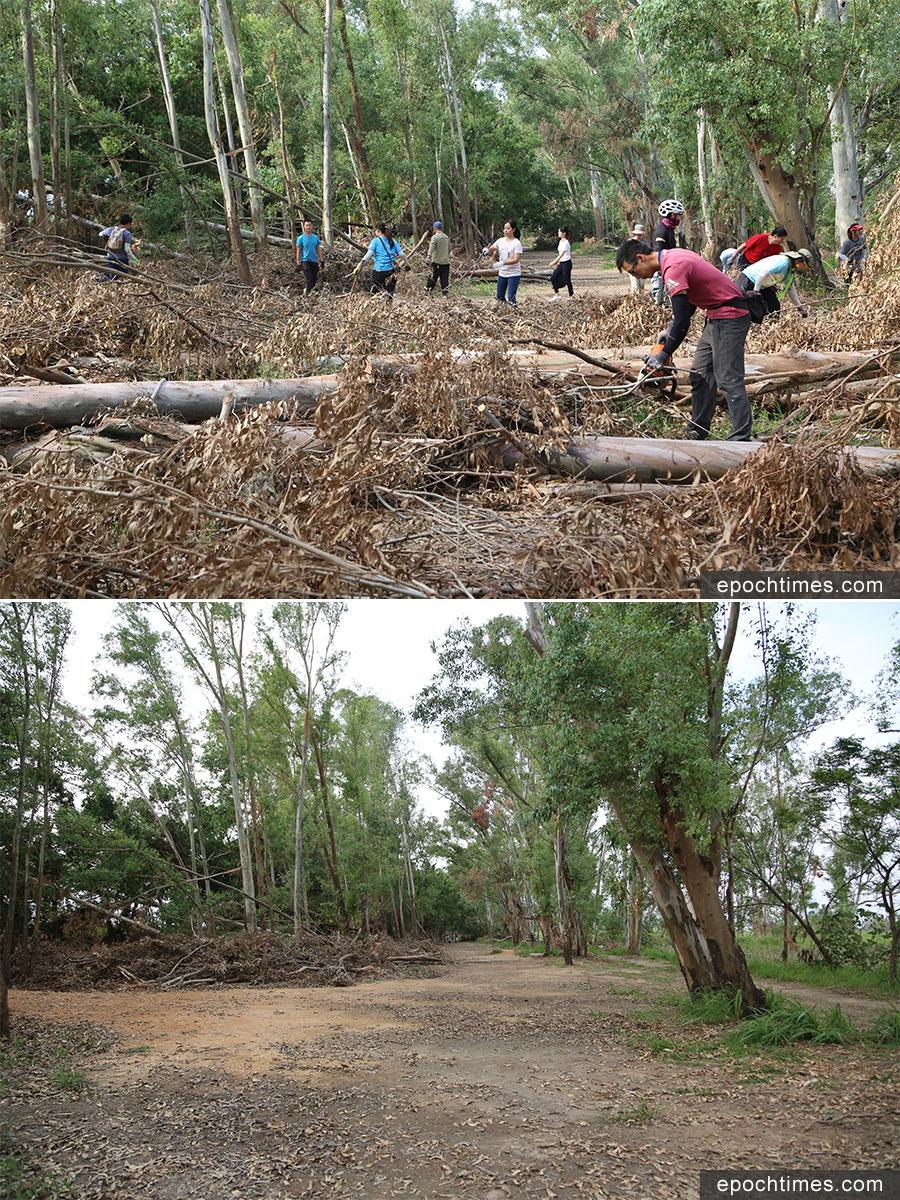 南生圍赤桉樹林步道在清理後(下)已恢復通行。(陳仲明/大紀元)