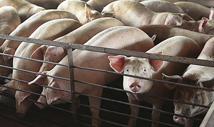雲南首現非洲豬瘟疫情