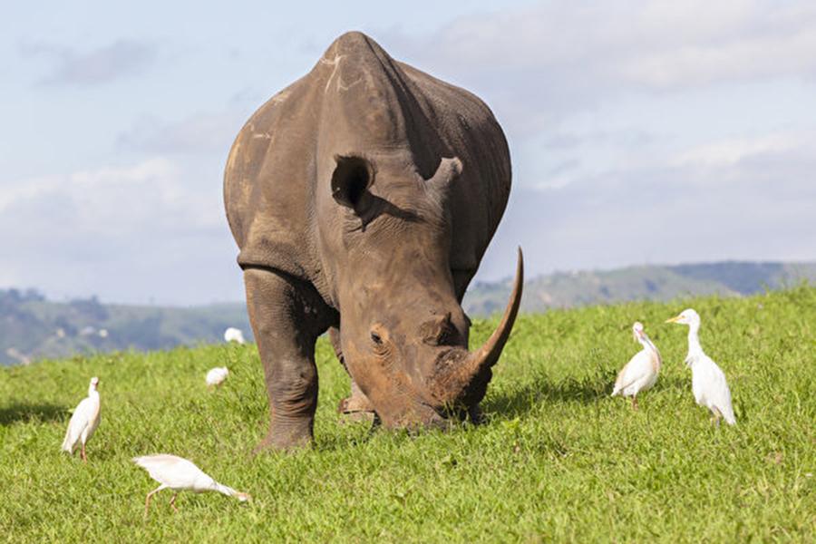 世界自然基金會發表的2018年《地球生命力報告》揭示,在過去44年來,脊椎動物的數量已銳減60%。圖為一頭犀牛和幾隻鳥。(Fotolia)