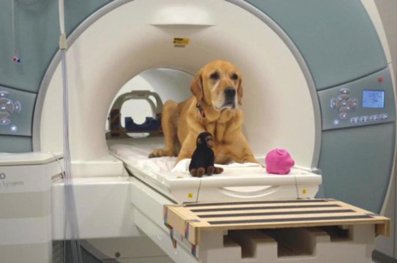 最新研究發現,狗狗具有基本的神經表達能力,大腦可以關連聽到的詞彙和看到的實物,並區分哪些是沒聽過的陌生詞彙。(Photo courtesy Gregory Berns, Emory University)