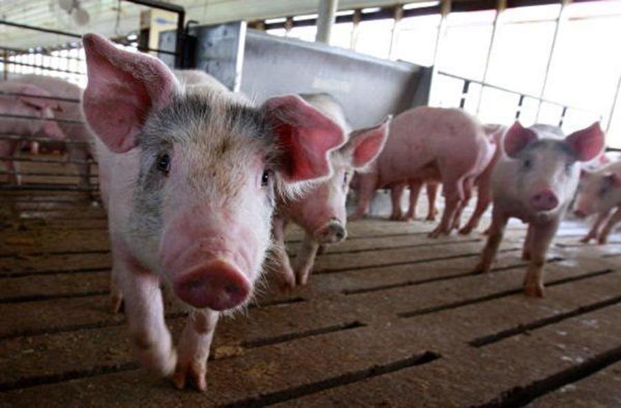 吉林、內蒙古各發生一起非洲豬瘟疫情。截止至10月30日,疫情已蔓延至14個省份。(Scott Olson/Getty Images)