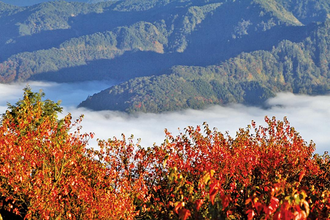 小笠原山台灣紅榨槭。
