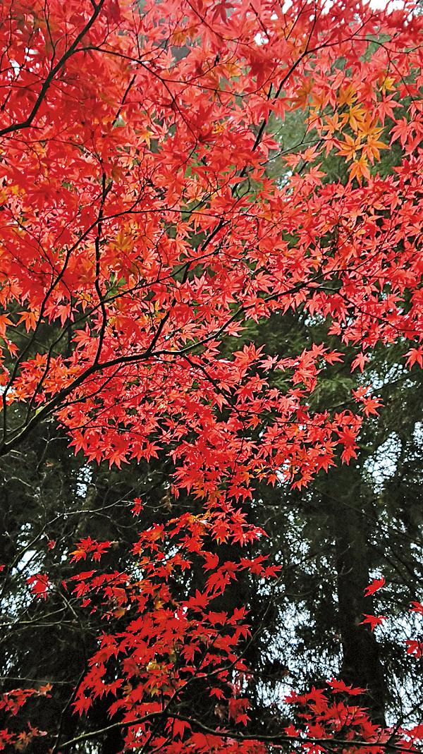 慈雲寺楓紅。