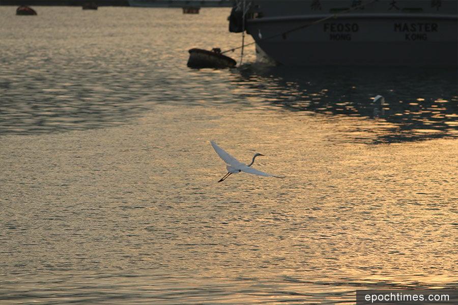 日落時份,即使遇上不理想的天氣,仍有可能在金光的水面上,攝影捕捉飛鳥的神態。(陳仲明/大紀元)