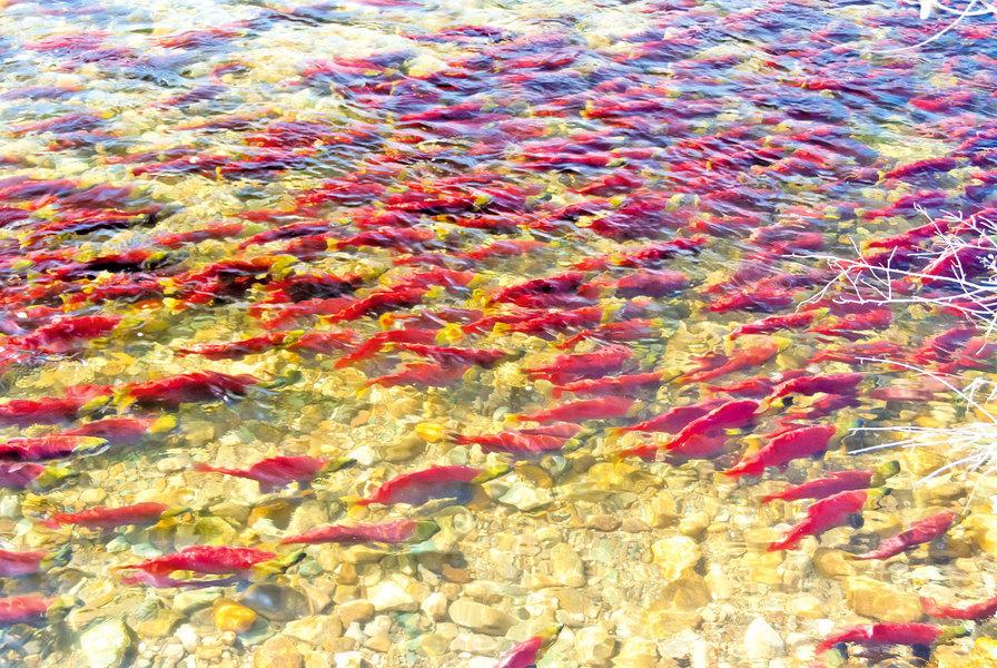 秋季最壯觀的風景 加拿大三文魚洄游