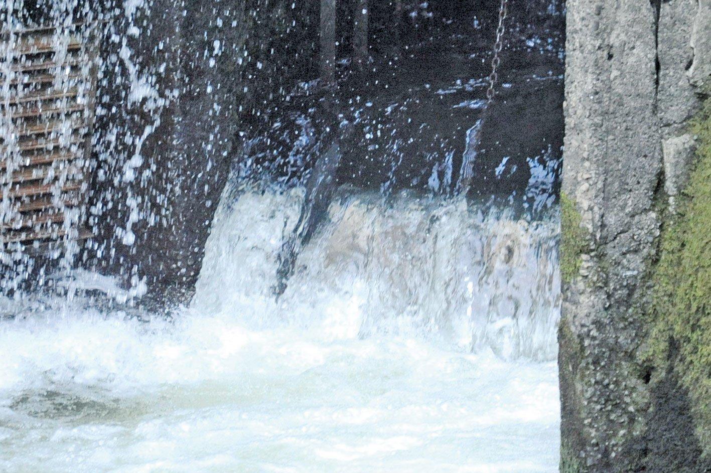 大鱗鮭跳躍「龍門」,進入孵化場。(李望京/大紀元)