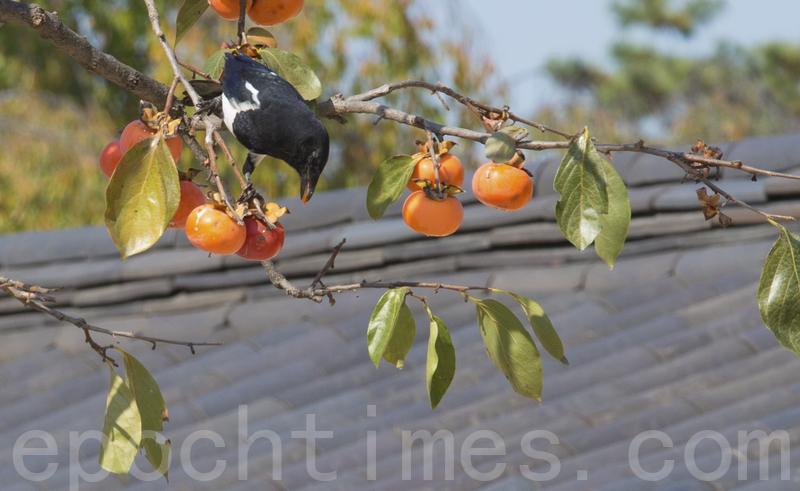 秋意濃,柿子樹上果實纍纍。(全景林/大紀元)