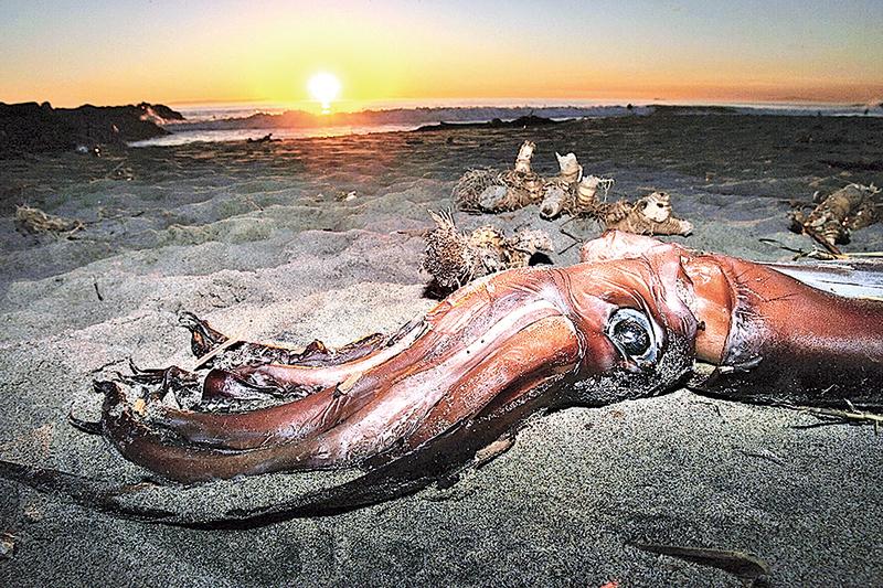 巨型烏賊長到20米長似乎是合理的,而小部份烏賊可能長到27米或更長。(Getty Images)