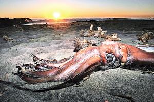 巨型海怪非傳說烏賊可長達27米