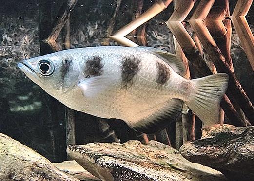 射水魚的人臉識別能力令人驚訝。(維基百科)