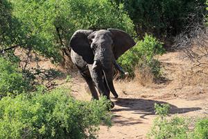 研究發現面對盜獵壓力 非洲大象出現無象牙趨勢