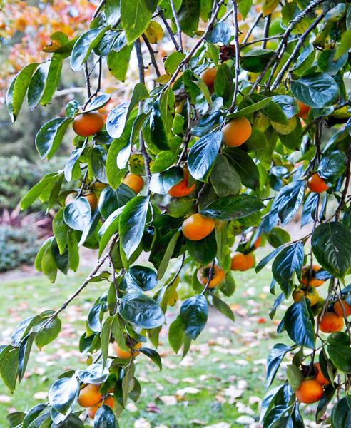 柿子有「七絕」:「一多壽,二多陰,三無鳥巢,四無蟲蠹,五霜葉可玩,六嘉實,七落葉肥滑可以臨書。」(逍遙/大紀元)