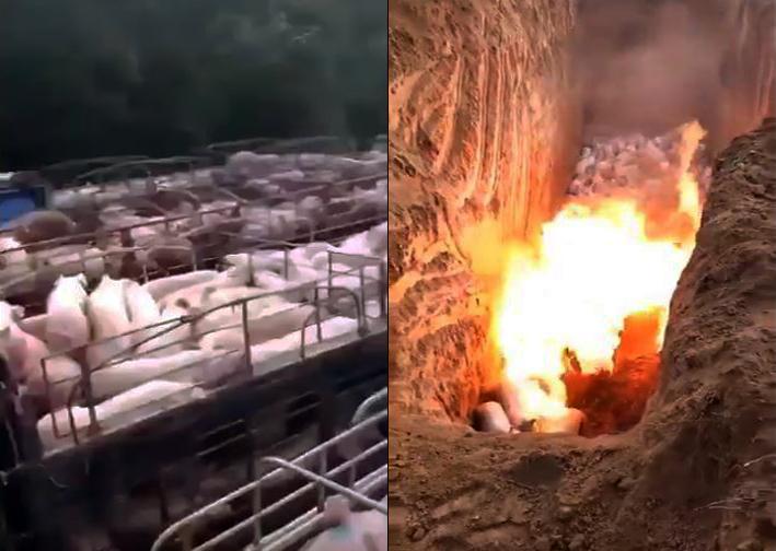目前,豬瘟疫情已蔓延大半個中國。福建一大型豬場爆發豬瘟後,黑心老闆將大量活豬賣掉並逃跑。網絡則流傳多則短片,其中有紀錄焚燒豬的畫面,網民驚呼野蠻殘忍。(影片截圖)