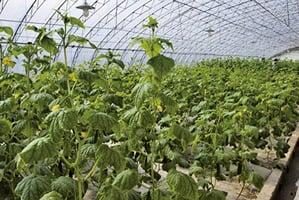中國蔬菜大棚用毒農藥 俄民眾要求關閉